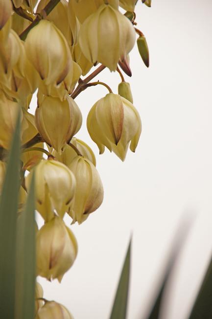 ユッカ(青年の木)の花/青紫蘇の実とカワラヒワ(野鳥)/一体型マスク_c0139591_00300099.jpg