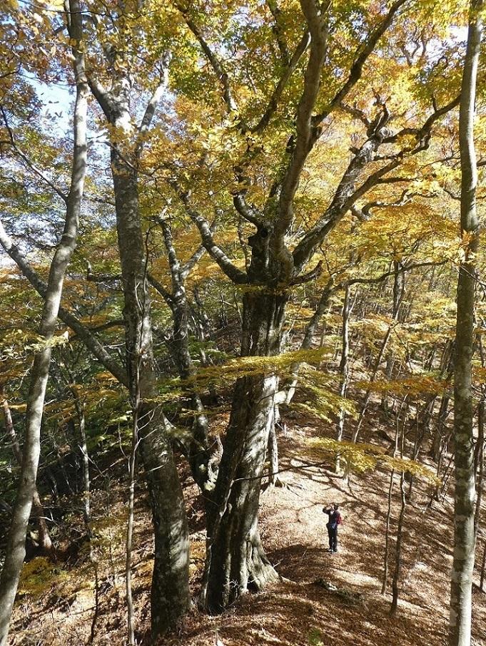 10/29 三頭山 / 黄葉と巨樹に会ってきた ①_d0288144_18530308.jpg