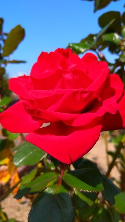 バラ祭り_c0175339_23460294.jpg