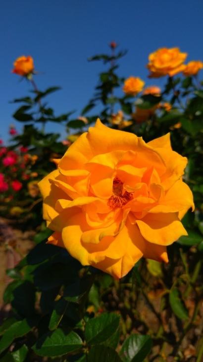 バラ祭り_c0175339_23462307.jpg