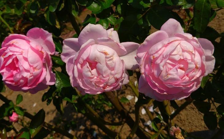 バラ祭り_c0175339_23471157.jpg