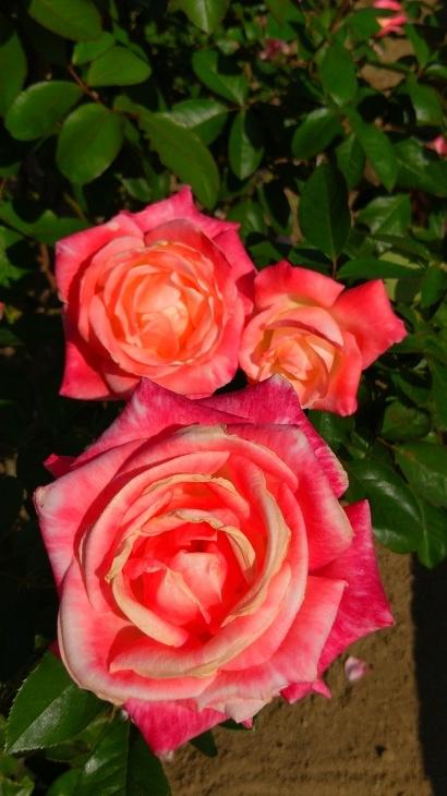 バラ祭り_c0175339_23474903.jpg