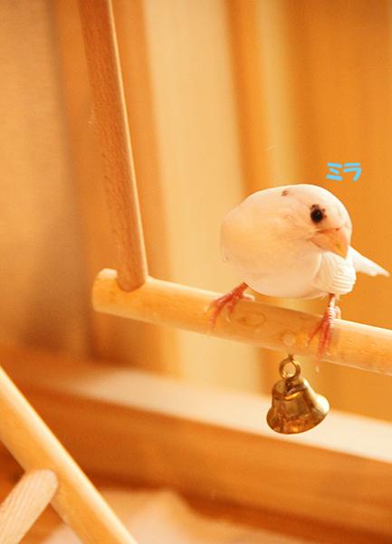 1輪のバラ/ガラスの小鳥のお香立て/ミラ(♂)、お星さまになる_c0139591_08521114.jpg