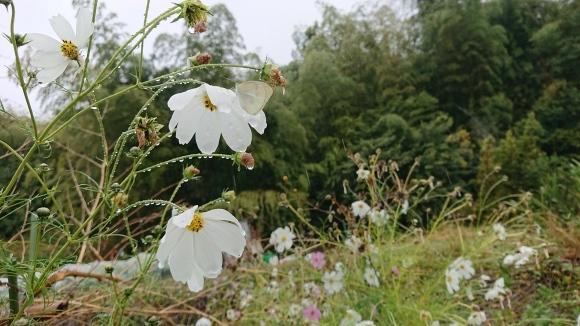 雨の日のコスモス泣いて白い蝶_d0051106_10494755.jpg