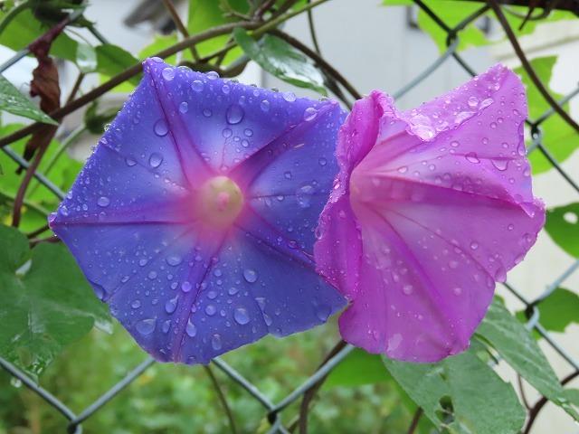 散歩で出会った花々(撮影:10月22日)_e0321325_18591260.jpg