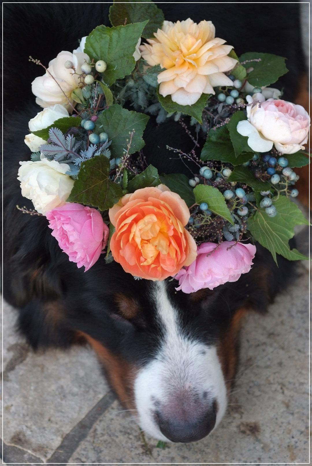 秋バラと野ブドウの花冠とロジャー(11月1日)_b0075541_14384265.jpg