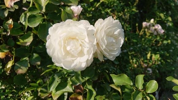 いかほどにあろうか秋の薔薇の園_d0051106_22173872.jpg