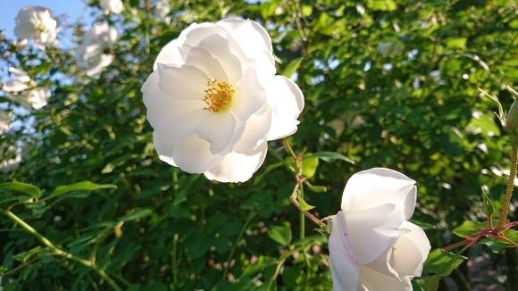 いかほどにあろうか秋の薔薇の園_d0051106_22180159.jpg