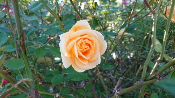 いかほどにあろうか秋の薔薇の園_d0051106_22181903.jpg