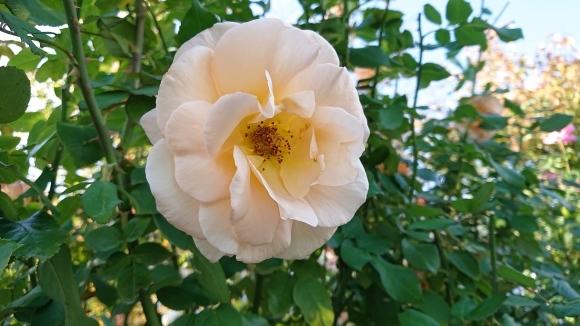 いかほどにあろうか秋の薔薇の園_d0051106_22183851.jpg