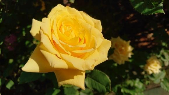 いかほどにあろうか秋の薔薇の園_d0051106_22185752.jpg