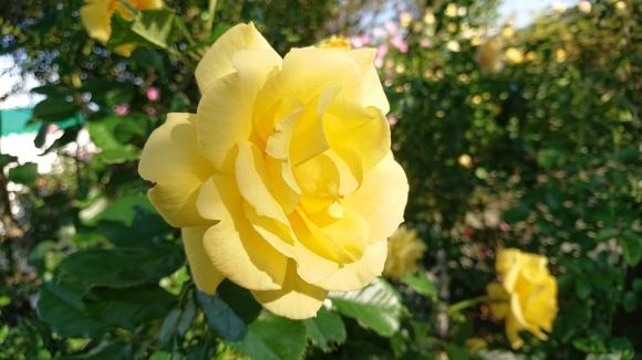 いかほどにあろうか秋の薔薇の園_d0051106_22191363.jpg