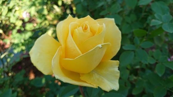 いかほどにあろうか秋の薔薇の園_d0051106_22200526.jpg