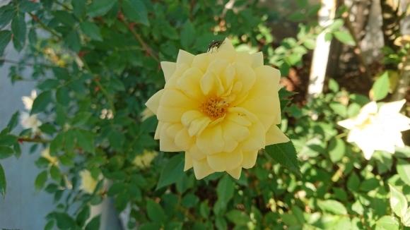 いかほどにあろうか秋の薔薇の園_d0051106_22201603.jpg