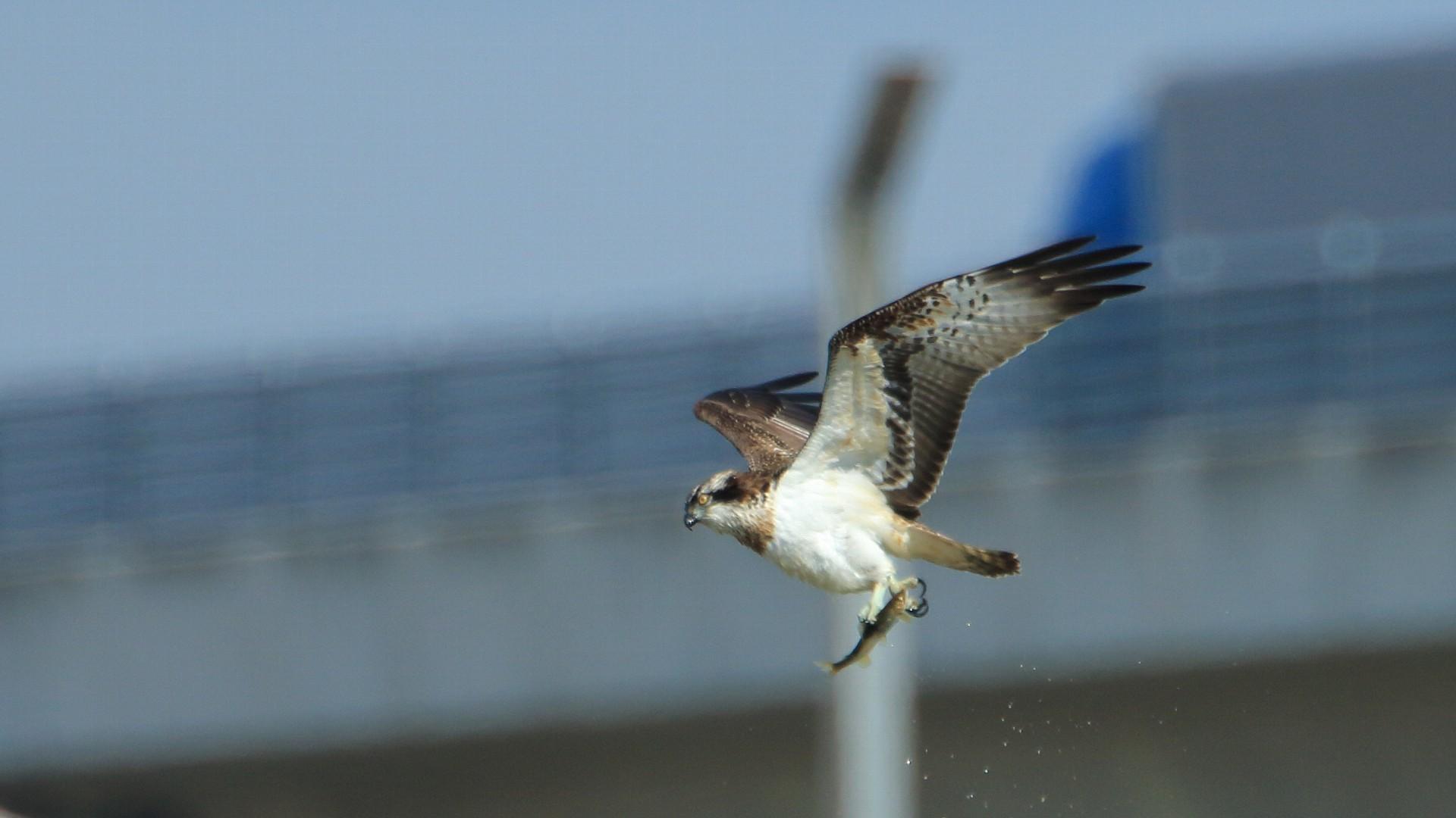 ミサゴが鮎を持って飛ぶ:背景は圏央道_f0105570_21080126.jpg