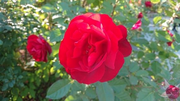 彩がある四季がある庭バラの園_d0051106_12274206.jpg