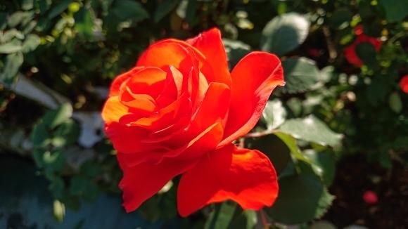 彩がある四季がある庭バラの園_d0051106_12275629.jpg