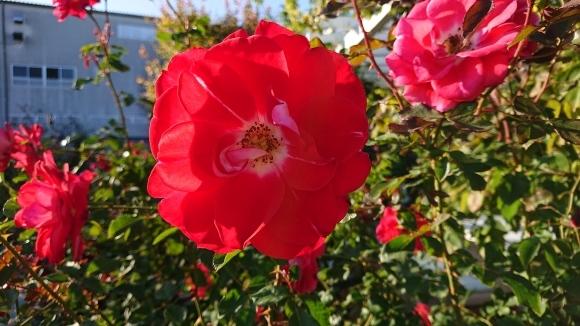 彩がある四季がある庭バラの園_d0051106_12283111.jpg