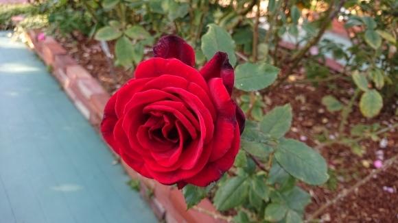 彩がある四季がある庭バラの園_d0051106_12284076.jpg
