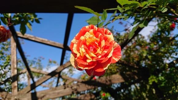 彩がある四季がある庭バラの園_d0051106_12290446.jpg