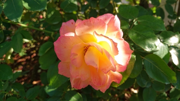 彩がある四季がある庭バラの園_d0051106_12292357.jpg
