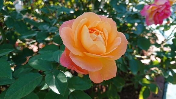 彩がある四季がある庭バラの園_d0051106_12293745.jpg