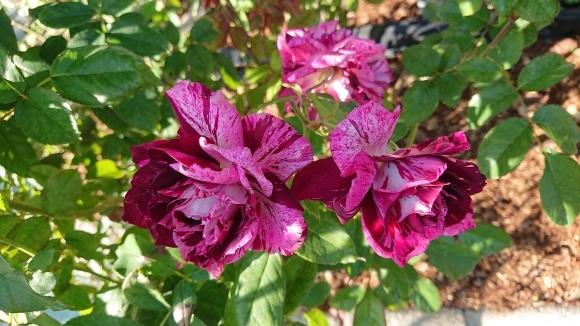 バラの香の仄かに流る秋の空_d0051106_20263016.jpg
