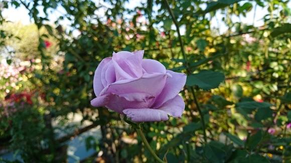 バラの香の仄かに流る秋の空_d0051106_20264115.jpg