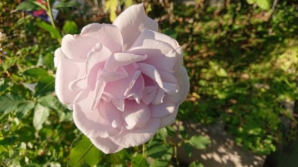 バラの香の仄かに流る秋の空_d0051106_20270121.jpg