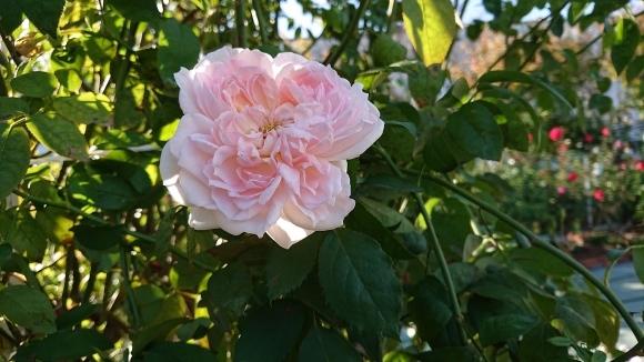 バラの香の仄かに流る秋の空_d0051106_20275531.jpg