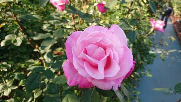 バラの香の仄かに流る秋の空_d0051106_20281049.jpg