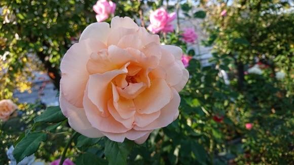 バラの香の仄かに流る秋の空_d0051106_20282113.jpg