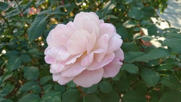 バラの香の仄かに流る秋の空_d0051106_20283512.jpg
