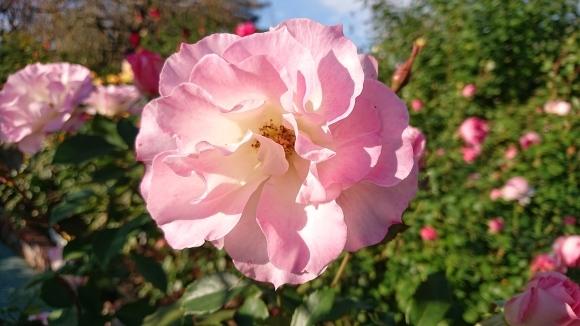 バラの香の仄かに流る秋の空_d0051106_20284512.jpg