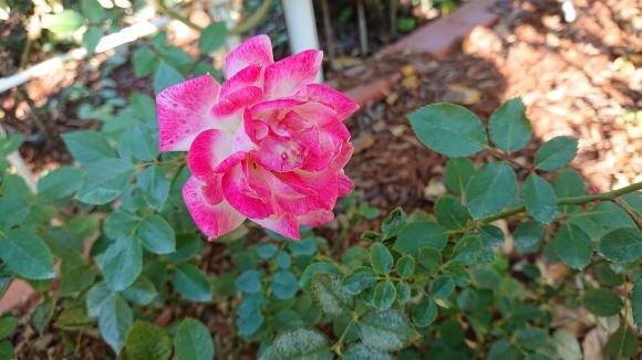 バラの香の仄かに流る秋の空_d0051106_20290992.jpg