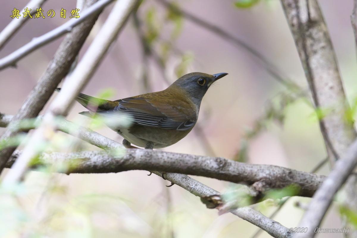 冬鳥到着<シロハラ>_e0268015_17052692.jpg
