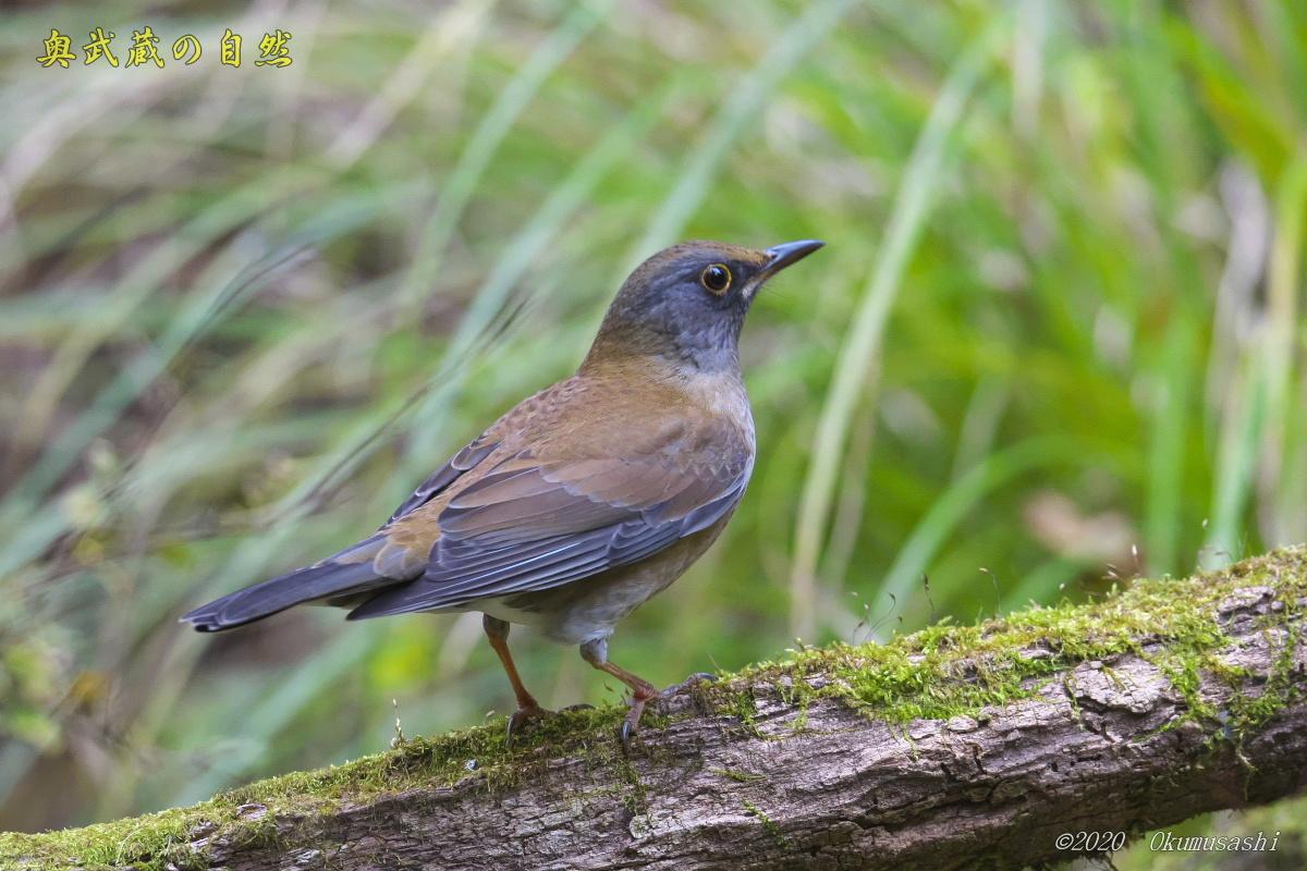 冬鳥到着<シロハラ>_e0268015_17054619.jpg