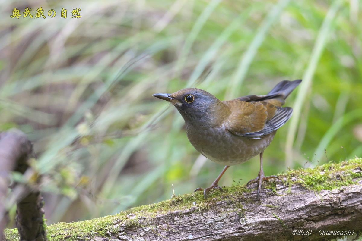 冬鳥到着<シロハラ>_e0268015_17060740.jpg