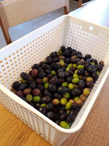 オリーブ収穫_a0046888_08140214.jpg