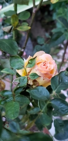 瀕死のバラたち_e0238514_06175781.jpg