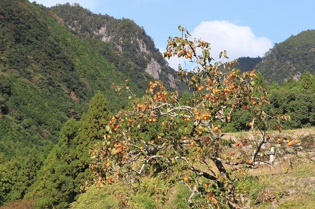 アサギマダラ蝶の里山(その1)(撮影:11月1日)_e0321325_11233855.jpg