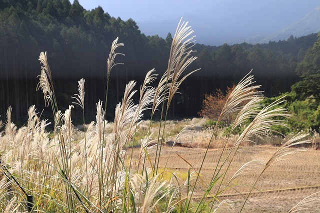 アサギマダラ蝶の里山(その1)(撮影:11月1日)_e0321325_11240483.jpg