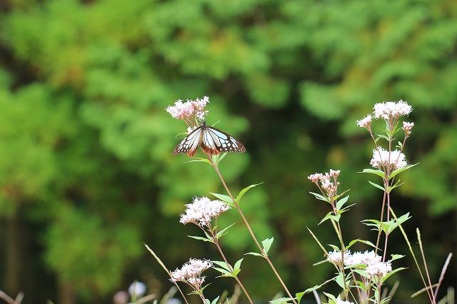 アサギマダラ蝶の里山(その1)(撮影:11月1日)_e0321325_11260332.jpg