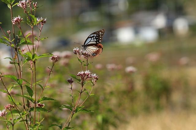 アサギマダラ蝶の里山(その1)(撮影:11月1日)_e0321325_11273766.jpg