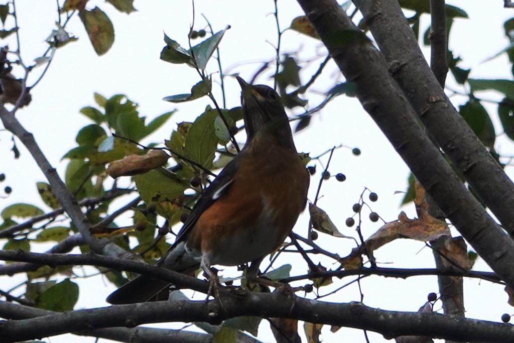 野鳥トレ 230 神戸森林植物園_b0227552_14535791.jpg