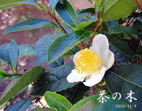 九華関頂の中国鉢植え2             No.2060_d0103457_13422822.jpg