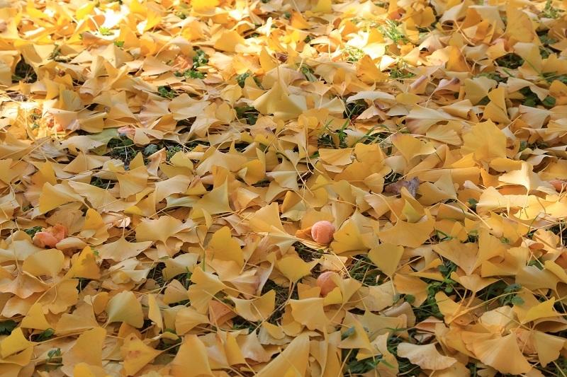 銀杏並木とフォレスター_f0076731_20033212.jpg