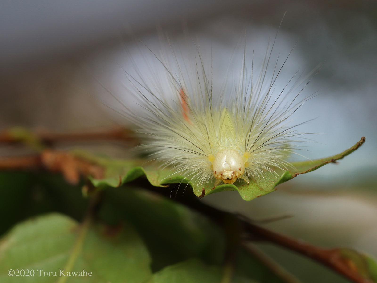 庭のローズマリーにくっ付いた美しい秋色の毛虫さん_b0025008_09494553.jpg