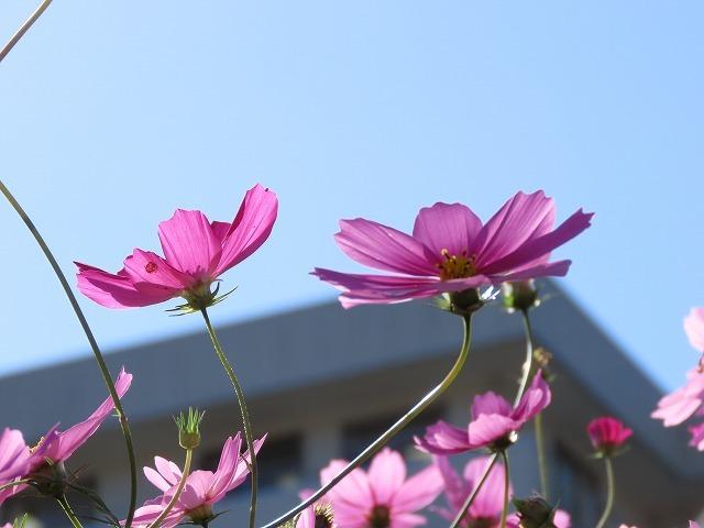 咲き誇るコスモス畑(撮影:11月3日)_e0321325_11263299.jpg