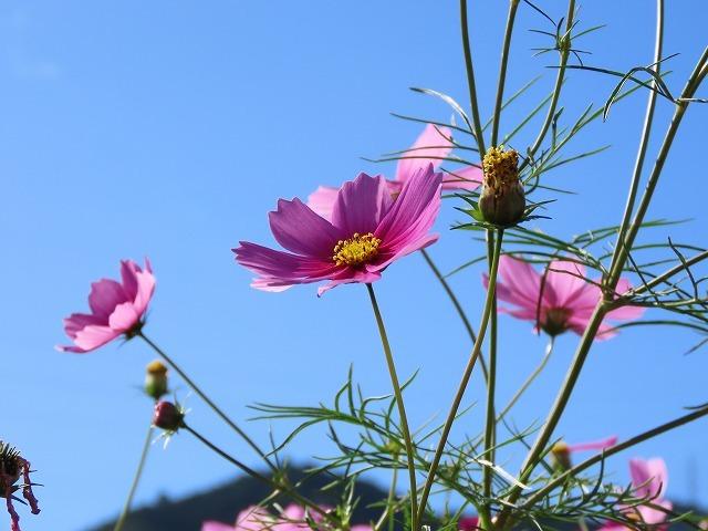 咲き誇るコスモス畑(撮影:11月3日)_e0321325_11271931.jpg